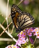5F1A8190 Monarch.jpg