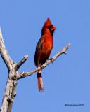 5F1A8216 Cardinal.jpg