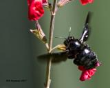 5F1A8314 Southern Carpenter Bee.jpg