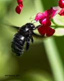 5F1A8330 Southern Carpenter Bee.jpg