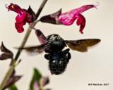 5F1A8398 Southern Carpenter Bee.jpg