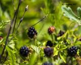 5F1A8482 Dewberries.jpg
