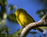 5F1A8523 Yellow Warbler.jpg