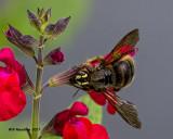 5F1A9509 Strands Carpenter bee.jpg