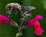 5F1A9527 Strands Carpenter bee.jpg