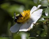 5F1A0005 American Bumblebee.jpg