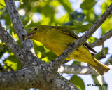5F1A9918 Summer Tanager f with bee.jpg