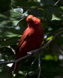 5F1A0028 Summer Tanager LC.jpg