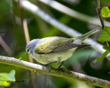 5F1A0259 Tennessee Warbler LC.jpg