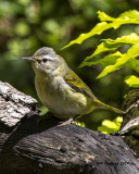 5F1A0333 Tennessee Warbler LC.jpg