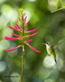 5F1A0339 Ruby-throated Hummingbird LC.jpg