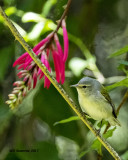 5F1A0356 Tennessee Warbler LC.jpg