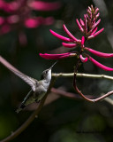 5F1A0512 Ruby-throated Hummingbird LC.jpg