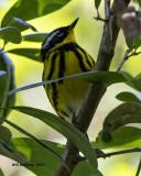 5F1A0560 Magnolia Warbler LC.jpg