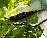 5F1A0608 Bay-breasted Warbler LC.jpg
