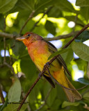 5F1A0655 Summer Tanager LC.jpg