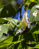 5F1A0714 Tennessee Warbler LC.jpg