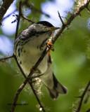 5F1A0726 Blackpoll Warbler.jpg