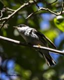 5F1A0847 Blackpoll Warbler.jpg