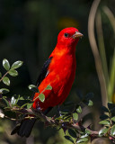 5F1A0921 Scarlet Tanager.jpg
