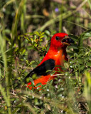 5F1A0927 Scarlet Tanager LC.jpg
