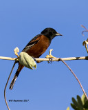 5F1A1083 Orchard Oriole LC.jpg