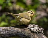 5F1A0417 Worm-eating Warbler LC.jpg
