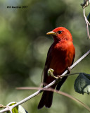 5F1A0057 Summer Tanager LC.jpg