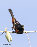 5F1A1078 Orchard Oriole LC.jpg