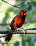5F1A1128 Northern Cardinal m Q.jpg