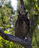 5F1A1249 Great-horned Owl DVM.jpg