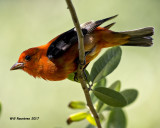 5F1A1286 Scarlet Tanager LC.jpg