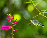 5F1A1337 RT Hummingbird LC.jpg