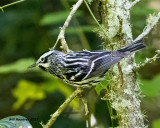 5F1A1453 Black and White Warbler LC.jpg