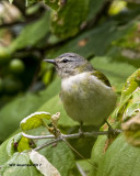 5F1A1760 Tennessee Warbler LC.jpg