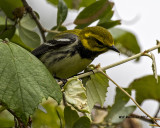 5F1A1798 Black-throated Green Warbler LC.jpg