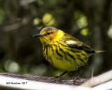 5F1A1866 Cape May Warbler.jpg