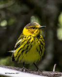 5F1A1889 Cape May Warbler.jpg