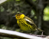 5F1A1897 Cape May Warbler.jpg