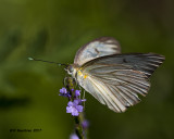 5F1A2180 Great Southern White Q.jpg