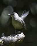 5F1A2284 Gray Catbird LC.jpg