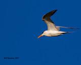 5F1A2591 Royal Tern GF.jpg