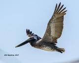 5F1A2601 Brown Pelican.jpg