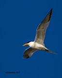 5F1A2605 Royal Tern GF.jpg