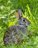 5F1A2719 Swamp rabbit SO.jpg