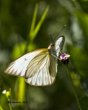 5F1A2175 Great Southern White.jpg