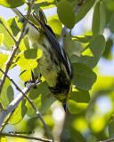 5F1A2226 Black-throated Green Warbler.jpg