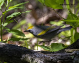 5F1A2447 Golden-winged Warbler LC.jpg