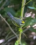 5F1A2410 Golden-winged Warbler LC.jpg