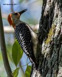 5F1A2806 Red-bellied Woodpecker.jpg